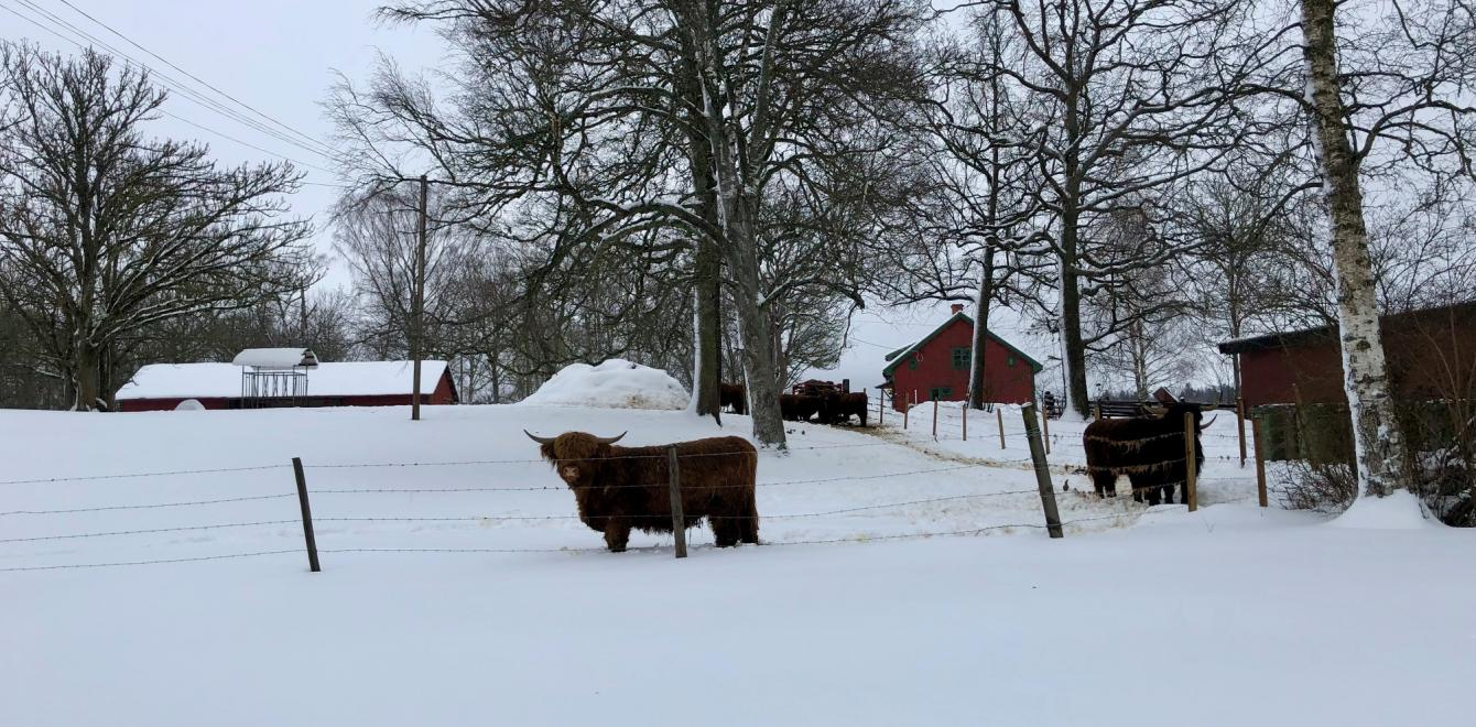 Highland cow at Bjelkesta gård - to be lost and to be found