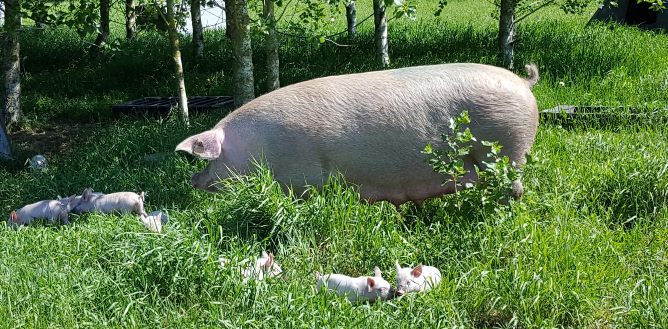 Danish organic sow with piglets